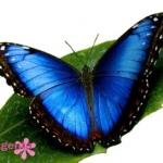 Голубая-Морфо-12-14см-450-грн.