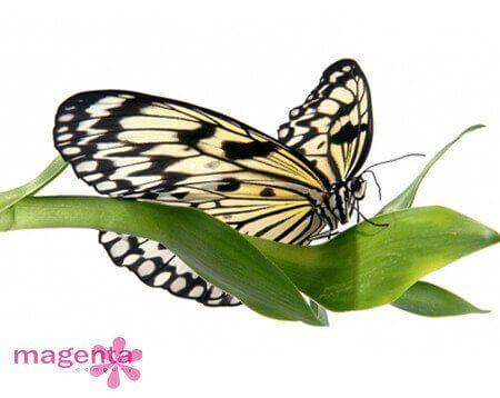 Доставка живых бабочек в Запорожье